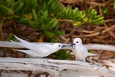 White tern (Gygis alba candida) pair, female with juvenile flying fish presented by mate as nuptial gift. Sand Island, Midway Atoll National Wildlife Refuge, Papahanaumokuakea Marine National Monument...