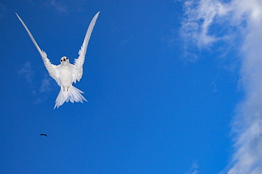 White tern (Gygis alba candida) hovering, view from below. Sand Island, Midway Atoll National Wildlife Refuge, Papahanaumokuakea Marine National Monument, Northwest Hawaiian Islands, USA.