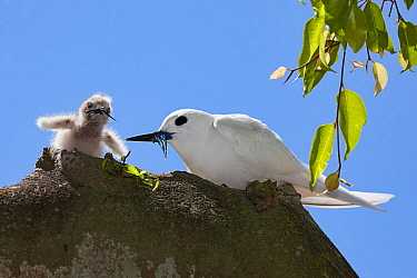 White tern (Gygis alba candida) feeding fish to chick. Sand Island, Midway Atoll National Wildlife Refuge, Papahanaumokuakea Marine National Monument, Northwest Hawaiian Islands, USA.