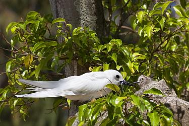 White tern (Gygis alba candida) with fish to feed chick. Sand Island, Midway Atoll National Wildlife Refuge, Papahanaumokuakea Marine National Monument, Northwest Hawaiian Islands, USA.
