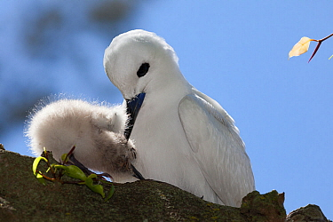 White tern (Gygis alba candida) pulling chick under breast to brood. Sand Island, Midway Atoll National Wildlife Refuge, Papahanaumokuakea Marine National Monument, Northwest Hawaiian Islands, USA.
