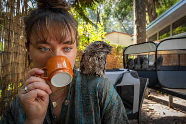 Wildlife rescuer and carer drinking cup of coffee with rescued Tawny frogmouth (Podargus strigoides) chick sitting on her shoulder, others in cage in background. Pearl Beach, New South Wales, Australi...