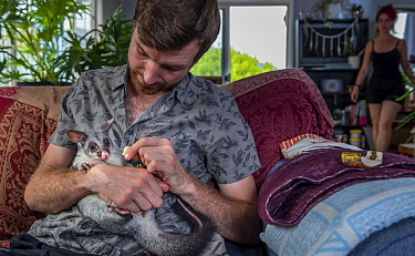 Wildlife rescuer and carer holding orphaned Brushtail possum (Trichosurus vulpecula) joey whilst sitting on sofa in his living room. Woy Woy Bay, New South Wales, Australia. December 2020. Model relea...