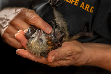 Grey-headed flying-fox (Pteropus poliocephalus), rescued bat held in hands of wildlife rescuer and carer. Matcham, New South Wales, Australia. December 2020. Model released. Editorial use only.