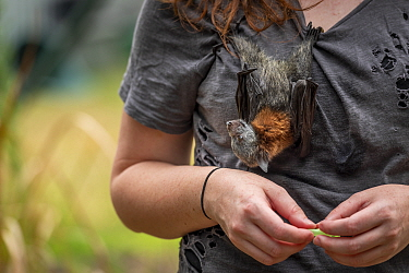 Grey-headed flying-fox (Pteropus poliocephalus), rescued bat hanging on shirt of wildlife rescuer and carer. Somersby, New South Wales, Australia. December 2020. Model released.