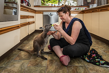 Wallaroo (Macropus robustus), orphaned male joey aged 4-5 months bottle fed by wildlife rescuer and carer in kitchen. Joey was thrown out of pouch in road traffic accident, mum fatally injured. Somers...
