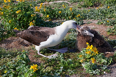 Laysan albatross (Phoebastria immutabilis) attacking unrelated chick to keep it away from its own nesting area. Sand Island, Midway Atoll National Wildlife Refuge, Papahanaumokuakea Marine National Mo...