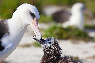 Laysan albatross (Phoebastria immutabilis) chick tapping adult's bill to stimulate feeding. Sand Island, Midway Atoll National Wildlife Refuge, Papahanaumokuakea Marine National Monument, Northwes...