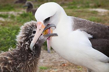 Laysan albatross (Phoebastria immutabilis) feeding chick. Sand Island, Midway Atoll National Wildlife Refuge, Papahanaumokuakea Marine National Monument, Northwest Hawaiian Islands, USA.