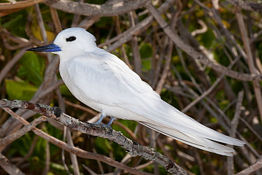 White tern (Gygis alba candida) perched on branch. Sand Island, Midway Atoll National Wildlife Refuge, Papahanaumokuakea Marine National Monument, Northwest Hawaiian Islands, USA.