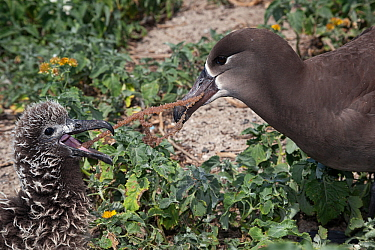 Black-footed albatross (Phoebastria nigripes) attempting to feed chick marine debris, a monofilament fishing line coated with fish eggs. Sand Island, Midway Atoll National Wildlife Refuge, Papahanaumo...