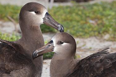 Black-footed albatross (Phoebastria nigripes) pair in courtship, portrait. Sand Island, Midway Atoll National Wildlife Refuge, Papahanaumokuakea Marine National Monument, Northwest Hawaiian Islands, U...