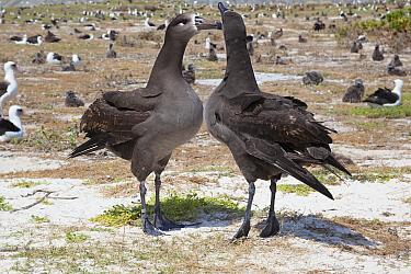 Black-footed albatross (Phoebastria nigripes) pair in courtship dance, in breeding colony alongside Laysan albatross (Phoebastria immutabilis). Sand Island, Midway Atoll National Wildlife Refuge, Papa...