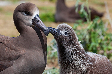 Black-footed albatross (Phoebastria nigripes) chick tapping adult's bill to initiate feeding. Sand Island, Midway Atoll National Wildlife Refuge, Papahanaumokuakea Marine National Monument, Northw...