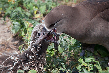 Black-footed albatross (Phoebastria nigripes) regurgitating fish eggs to feed to chick. Sand Island, Midway Atoll National Wildlife Refuge, Papahanaumokuakea Marine National Monument, Northwest Hawaii...
