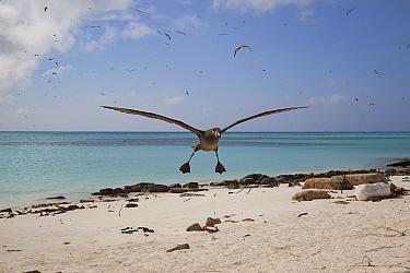 Black-footed albatross (Phoebastria nigripes) landing on beach, several albatrosses in sky. Sand Island, Midway Atoll National Wildlife Refuge, Papahanaumokuakea Marine National Monument, Northwest Ha...
