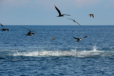 Magnificent frigate bird (Fregata magnificens) feeding from above and Yellowfin tuna (Thunnus albacares) feeding from below on Sardine bait ball. Sardines making sea surface boil as they attempt escap...