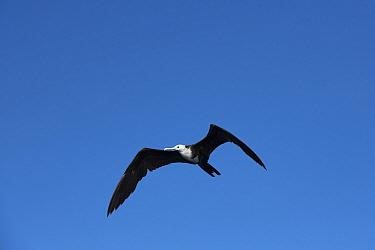 Magnificent frigate bird (Fregata magnificens) in flight. Over Pacific Ocean, Southern Costa Rica.
