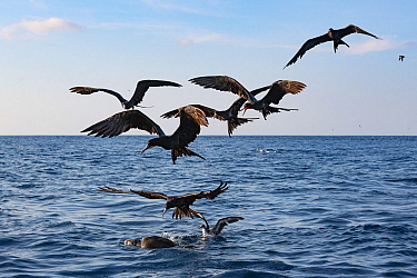 Magnificent frigate bird (Fregata magnificens) flock and Pink-footed shearwater (Ardenna creatopus) gathering around Olive ridley turtle (Lepidochelys olivacea) to feed on Bait fish hiding under it. P...