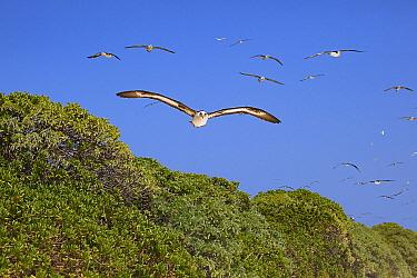 Laysan albatross (Phoebastria immutabilis) group from breeding colony in flight over trees. Sand Island, Midway Atoll National Wildlife Refuge, Papahanaumokuakea Marine National Monument, Northwest Ha...