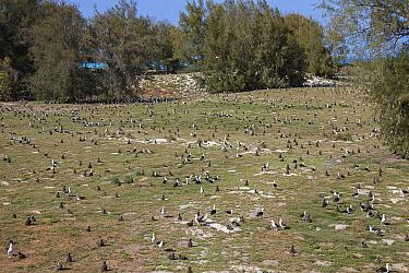 Laysan albatross (Phoebastria immutabilis) breeding colony with many chicks, in grassland bordered by Casuarina trees. Sand Island, Midway Atoll National Wildlife Refuge, Papahanaumokuakea Marine Nati...