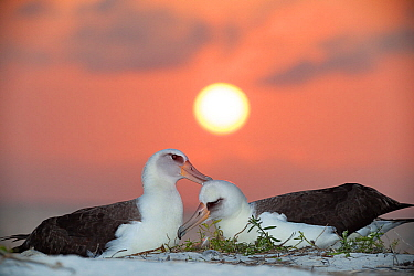 Laysan albatross (Phoebastria immutabilis) pair allopreening in courtship, at sunset. Sand Island, Midway Atoll National Wildlife Refuge, Papahanaumokuakea Marine National Monument, Northwest Hawaiian...