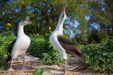 Laysan albatross (Phoebastria immutabilis) pair in courtship, one sky pointing. Sand Island, Midway Atoll National Wildlife Refuge, Papahanaumokuakea Marine National Monument, Northwest Hawaiian Islan...