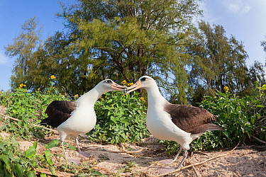 Laysan albatross (Phoebastria immutabilis) pair billing during courtship. Sand Island, Midway Atoll National Wildlife Refuge, Papahanaumokuakea Marine National Monument, Northwest Hawaiian Islands, US...