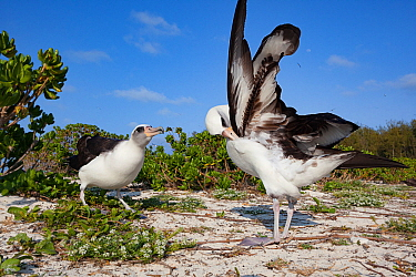 Laysan albatross (Phoebastria immutabilis) pair in courtship, one preening, the other bill pointing. Sand Island, Midway Atoll National Wildlife Refuge, Papahanaumokuakea Marine National Monument, Nor...