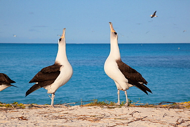 Laysan albatross (Phoebastria immutabilis) pair sky pointing in courtship dance. Sand Island, Midway Atoll National Wildlife Refuge, Papahanaumokuakea Marine National Monument, Northwest Hawaiian Isla...