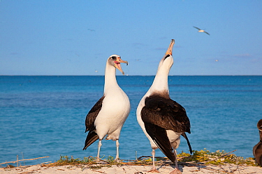 Laysan albatross (Phoebastria immutabilis) pair in courtship dance, one sky pointing. Sand Island, Midway Atoll National Wildlife Refuge, Papahanaumokuakea Marine National Monument, Northwest Hawaiian...
