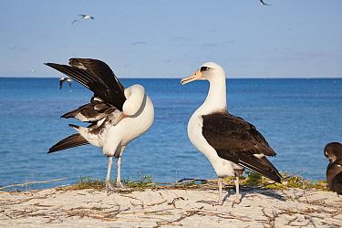 Laysan albatross (Phoebastria immutabilis) pair, one side preening during courtship dance. Sand Island, Midway Atoll National Wildlife Refuge, Papahanaumokuakea Marine National Monument, Northwest Haw...