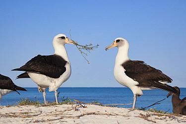 Laysan albatross (Phoebastria immutabilis) pair, male presenting nesting material during courtship. Sand Island, Midway Atoll National Wildlife Refuge, Papahanaumokuakea Marine National Monument, Nort...