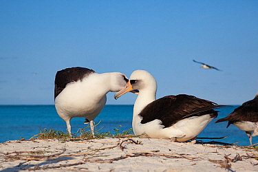 Laysan albatross (Phoebastria immutabilis) pair allopreening during courtship. Sand Island, Midway Atoll National Wildlife Refuge, Papahanaumokuakea Marine National Monument, Northwest Hawaiian Island...