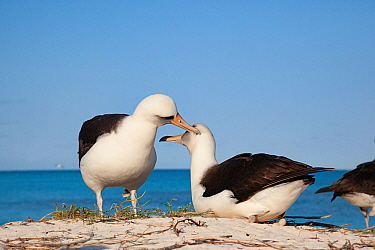 Laysan albatross (Phoebastria immutabilis) pair allopreening during courtship at sunrise. Sand Island, Midway Atoll National Wildlife Refuge, Papahanaumokuakea Marine National Monument, Northwest Hawa...