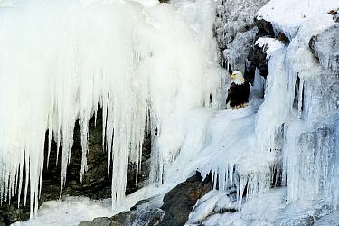 Bald eagle (Haliaeetus leucocephalus) perched on rocks at frozen waterfall. Alaska, USA, February.