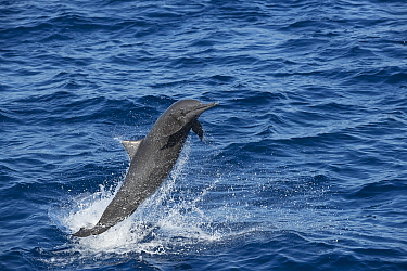 Spinner dolphin (Stenella longirostris) leaping. Pacific Ocean, Southern Costa Rica.
