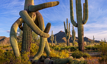 Saguaro cactus (Carnegiea gigantea) with twisted arms caused by freezing weather, in Sonoran Desert with flowering Brittlebush (Encelia farinosa). Cabeza Prieta National Wildlife Refuge, Arizona, USA....