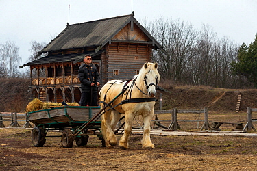 Percheron gelding pulling hay cart, man standing in cart. Traditional wooden building in background, Kievan Rus Park, a reconstruction of the former capital Rus. Ukraine, February 2020.