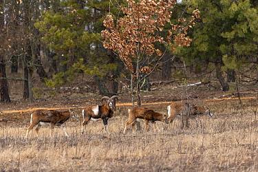 Mouflon (Ovis aries musimon) herd, male alert whilst females graze at woodland edge. Rewilding project, Beremytske Nature Reserve, Chernihiv Region, Ukraine. February.