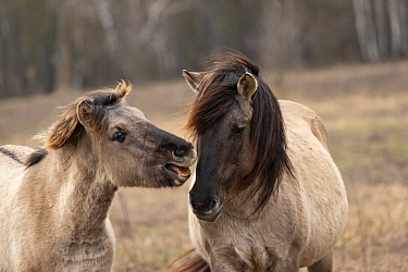 Konik horse, wild stallion and colt playing. Rewilding project, Beremytske Nature Reserve, Chernihiv Region, Ukraine. February.