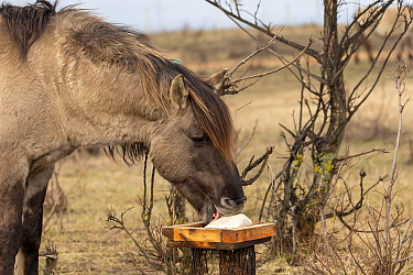 Konik horse, wild stallion licking salt. Rewilding project, Beremytske Nature Reserve, Chernihiv Region, Ukraine. February.