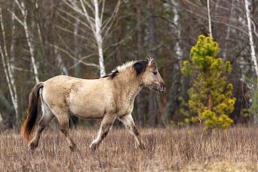 Konik horse, wild stallion trotting. Rewilding project, Beremytske Nature Reserve, Chernihiv Region, Ukraine. February.