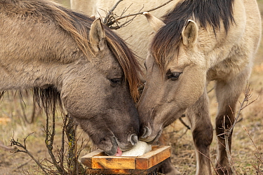 Konik horse, two wild stallions licking salt. Rewilding project, Beremytske Nature Reserve, Chernihiv Region, Ukraine, February.