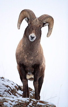 Big horn sheep (Ovis canadensis) male looking down from snowy ledge, portrait. Yellowstone National Park, USA, January.