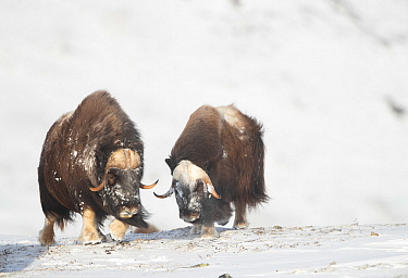 Musk ox (Ovibos moschatus), two in snow. Dovrefjell National Park, Norway, February.