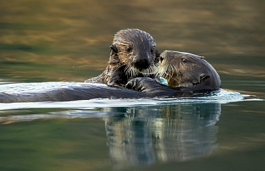 Sea otter (Enhydra lutris) female and pup. Alaska, USA, February.