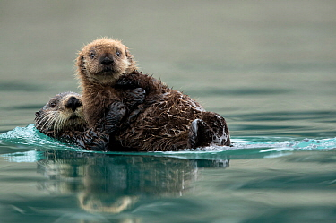 Sea otter (Enhydra lutris) female and pup playing. Alaska, USA, February.