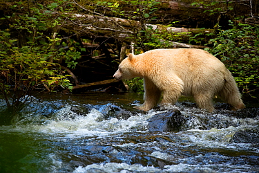 Kermode bear (Ursus americanus kermodei) hunting for Salmon in stream. British Columbia, Canada, September.