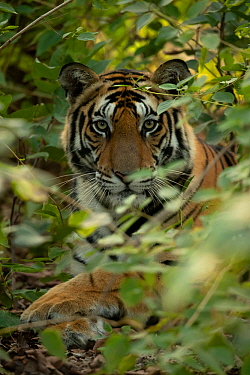 Bengal tiger (Panthera tigris tigris) male resting in undergrowth, portrait. Bandhavgarh National Park, India, December.